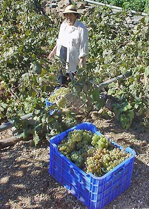 De wijnbouw rond Vilaflor levert een van de vele wijnen van Tenerife op. (Foto Frank Catry)